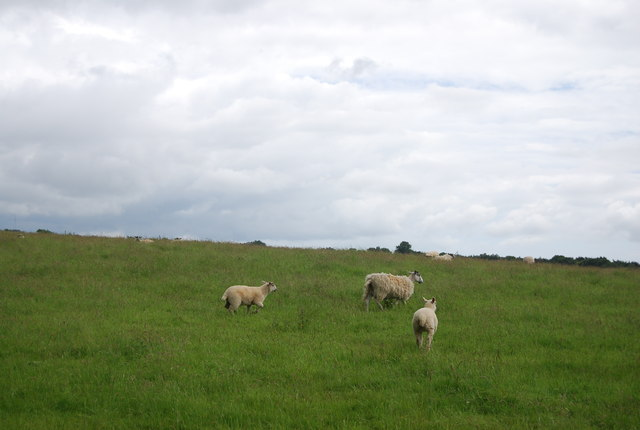 Sheep grazing, Little Worge Farm