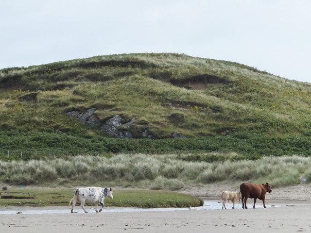 Cattle, Loch Breachacha