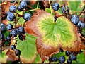 J4078 : Autumn leaves and berries, Glenlyon, Holywood by Albert Bridge