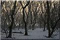 HP6209 : Snow-covered trees at Halligarth, Baltasound : Week 49