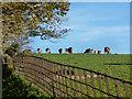 SU9282 : Cows in Hitcham Park by Des Blenkinsopp
