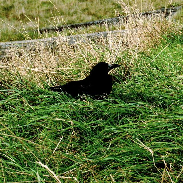 Cliffs of Moher - Black Bird (Rook)