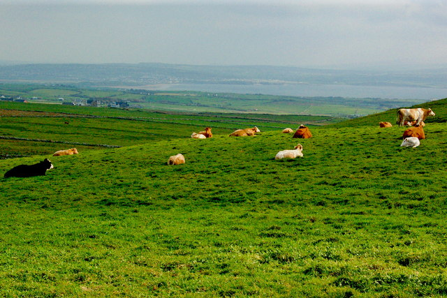 Cliffs of Moher - Cows resting in Field