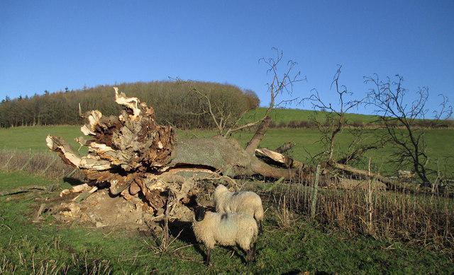 Fallen tree near Halford