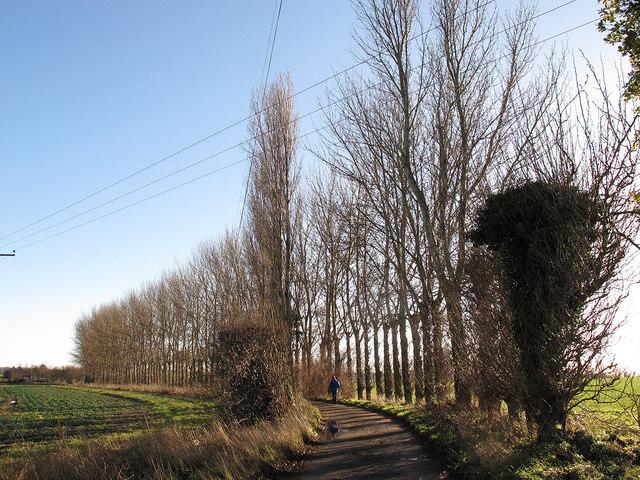 Poplars along a farm track