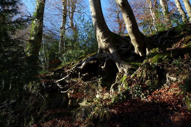 Beech roots and malmstone exposure, Short Lythe, Selborne