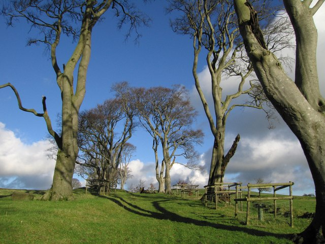 Beech trees on Lindley Hill