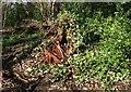 ST5577 : Rotten tree stump, Blaise Castle Estate by Derek Harper