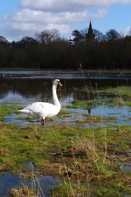 Swan on flooded Berry Meadows, Twyford