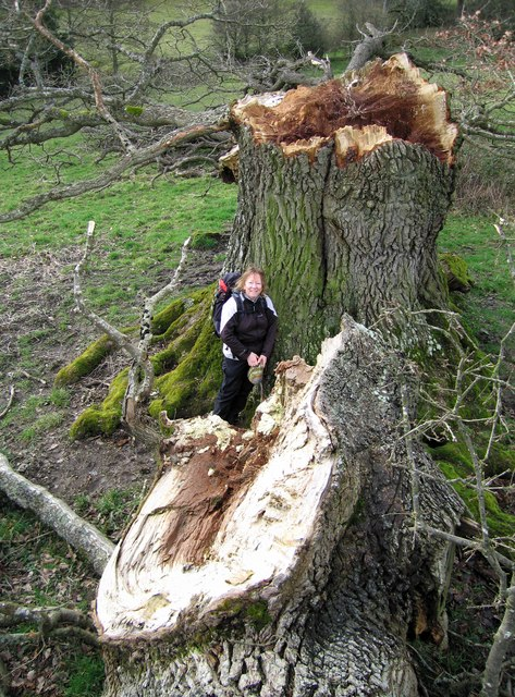 Large fallen tree near the Shropshire Way