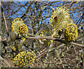 NJ2366 : Willow Catkins by Anne Burgess