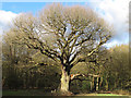 TQ4095 : Grimstons Oak, Epping Forest, March 2014 by Roger Jones