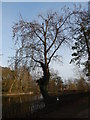 TM1645 : Tree in Christchurch Park by Hamish Griffin