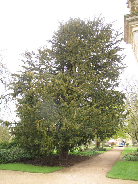 Oxford botanic garden yew tree stephen craven cc by sa for Garden yew trees