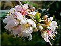 SO6424 : Ornamental cherry : Week 13