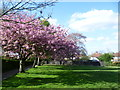 TQ4265 : Cherry blossom in Hollydale Recreation Ground by Marathon