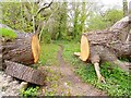 SZ3296 : Fallen Tree at Lymington Reed Beds by Mike Smith
