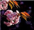 SU6774 : Japanese cherry blossom in Tilehurst, Berkshire by Edmund Shaw