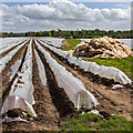 SP2255 : Polythene cloches : Week 17