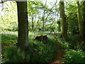 SJ3570 : Bluebells in Dingle Wood by Sue Booth