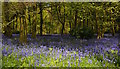 SU6782 : Bluebell woodland, Checkendon, Oxfordshire : Week 18