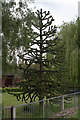 SE8303 : Monkey Puzzle Tree near Blacks Farm by J.Hannan-Briggs