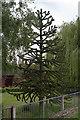 SE8303 : Monkey Puzzle Tree near Blacks Farm by J.Hannan-Briggs