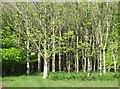 SX3566 : Deer in trees by Derek Harper