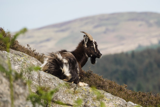 Feral goat, Clints of Dromore