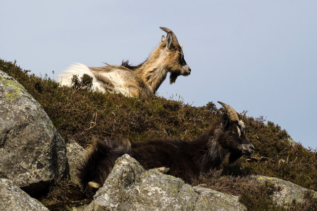 Feral goats, Clints of Dromore