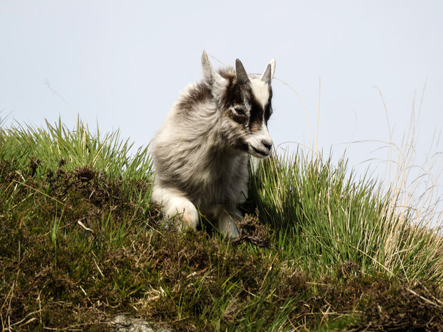 Wild goat kid, Clints of Dromore
