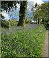 SX3466 : Bluebells northeast of Newton Ferrers by Derek Harper