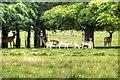 SJ7581 : A Group of Fallow Deer at Tatton Park by David Dixon