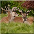 SJ7579 : Young Bucks at Tatton by David Dixon