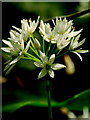 SO6820 : Wild Garlic inflorescence : Week 19