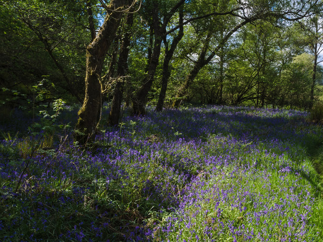 Bluebells near the Minnoch