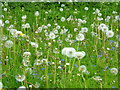 SP6738 : Wild flowers and dandelion 'clocks' at Stowe by pam fray