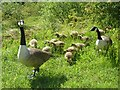 SP9314 : Canada geese emerge from the grass : Week 21