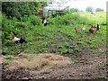 SD7412 : Free ranging hens by Philip Platt