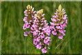 TL5570 : Marsh Orchid, Wicken Fen : Week 21