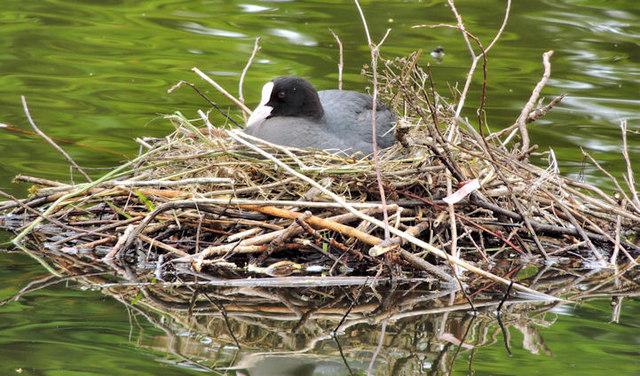 Nesting coots, Victoria Park, Belfast - June 2014(1)
