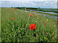 TL4583 : Poppies on the bank - The Ouse Washes near Mepal by Richard Humphrey