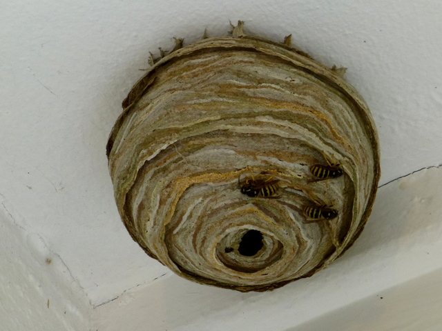 how to get rid of wasp nest under porch