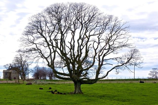 Lone Tree, near Rokeby