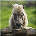 HP6209 : Inquisitive Shetland pony, Baltasound : Week 23