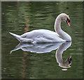 TQ3094 : Mute Swan, Grovelands Park, London N14 : Week 23