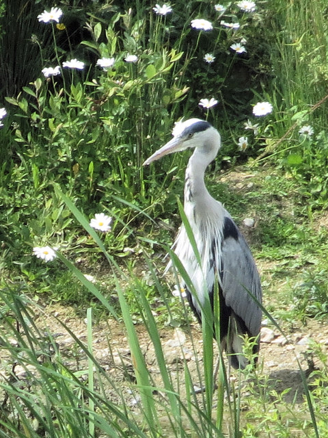A heron on the Marsh at College Lake, near Tring
