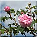 SP2965 : Rosa x Alba �Königin von Danemarck� : Week 23