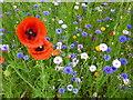 TL4557 : Poppies - The Botanic Garden, Cambridge : Week 24
