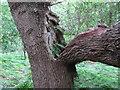 TM4667 : Bracken growing in broken tree branch, RSPB Minsmere by Roger Jones